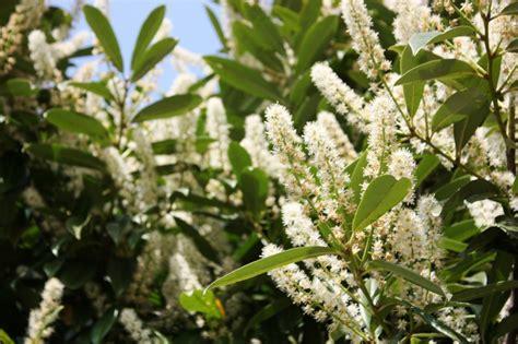 kirschlorbeer hecke welche sorte thuja sorten lebensbaum thuja pflanzen janssen gmbh