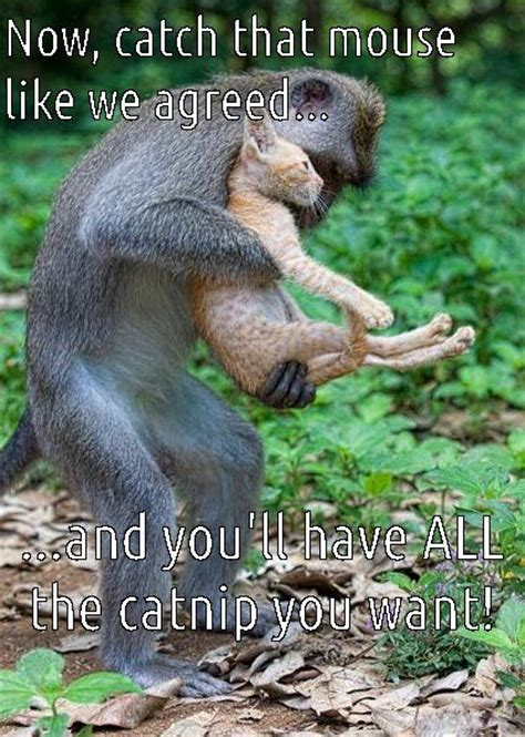 Sexy Monkey Meme - 327 best images about great cat memes on pinterest cats