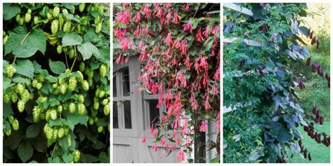 fast growing plants 10 fast growing flowering vines best wall climbing vines to plant