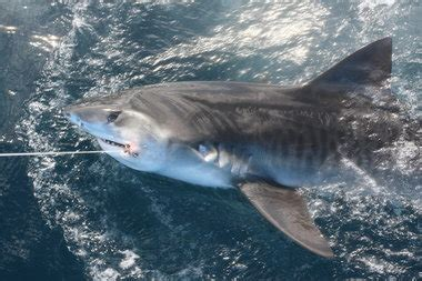 tige boat oil change tiger shark bellies found full of migrating birds are