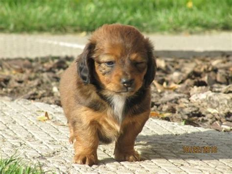 chiweenie puppies for sale in pa 17 best images about puppies on adoption miniature and american pit