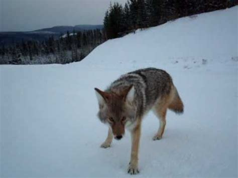 coyote attacks coyote attack best footage