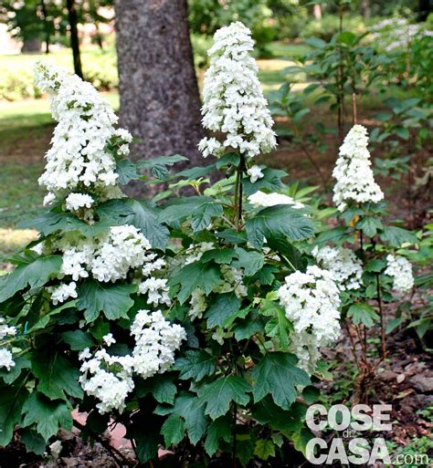 arbusti fioriti da giardino sotto l albero all ombra cosa piantare cose di casa