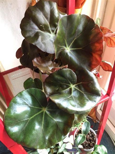 mon nouveau begonia nenuphar begonia plante exotique