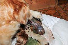 golden retriever whelping whelping puppies stage three labor