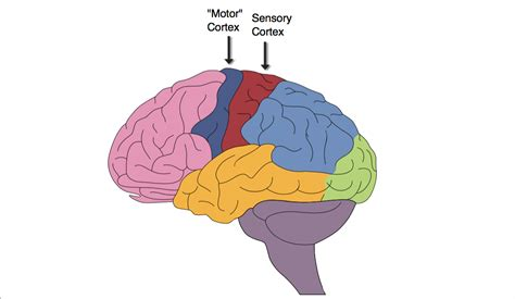 primary motor cortex function and location location of somatosensory cortex location of soleus
