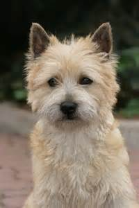 cairn hair cuts cairn terrier hair cuts hairstylegalleries com