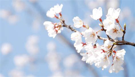 fiore di ciliegio in giapponese il giappone e stagione dei ciliegi discorsivo gt magazine