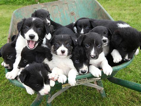 puppy everywhere puppies in a wheelbarrow photo