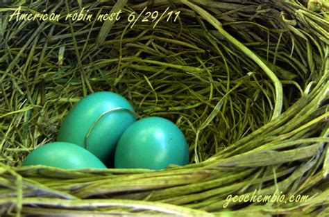 incubation period for robins eggs image search results