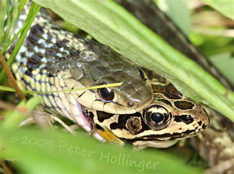 Garter Snake Frog Garter Snake Pickerel Frog Photo Hollinger