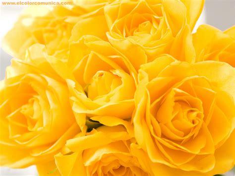 imagenes tumblr amarillas el color comunica significado de las rosas amarillas