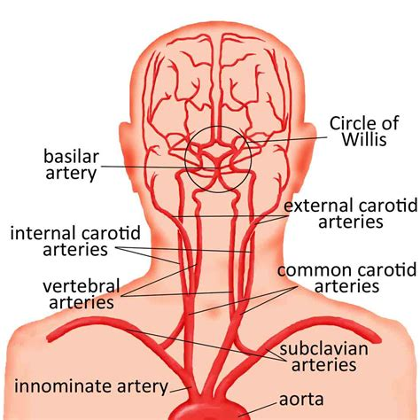 arteries in the neck diagram human neck useful notes on blood vessels of human neck
