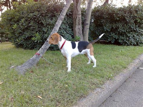 alimentazione beagle alimentazione beagle italia
