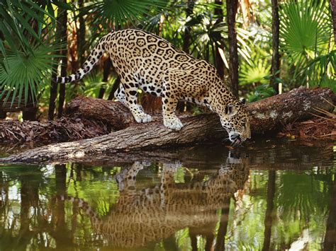 jaguars rainforest qq wallpapers jaguars are the of south america s