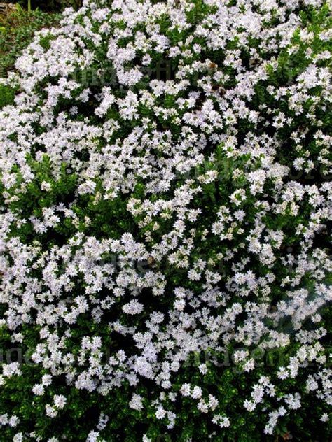 evergreen shrub with white flowers hebe vernicosa white flowers groups in stock