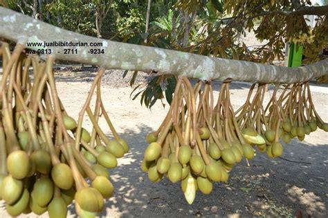 terbaru wa    jual bibit durian musang