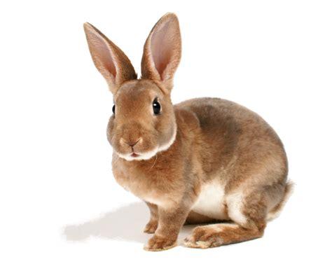 conejo de fuego 2016 anecdotario del cole un conejo como mascota