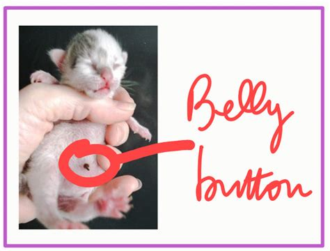 Do cats have belly buttons?   PoC