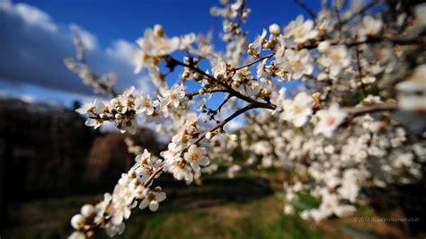 sfondi desktop primavera fiori 1366 x 768 primavera sfondi fiori immagini di sfondo