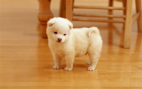cutest puppies cutest puppy wallpapers hd wallpapers id 10378