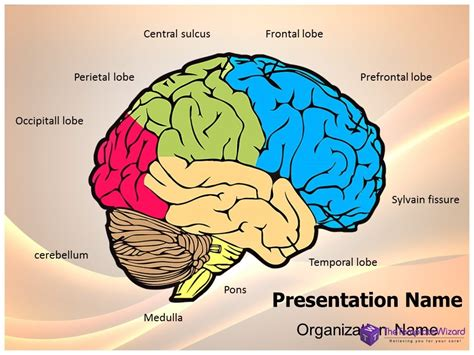 brain template neurology human brain powerpoint presentation template