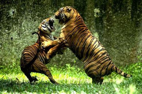 imagenes de animales salvajes peleando dos tigres peleando sudafrica animales en video