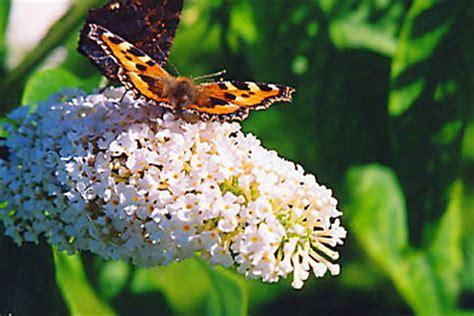 nomi persiani buddleja l albero delle farfalle pollicegreen