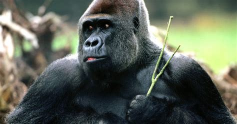 gorilla hd wallpapers hd wallpapers