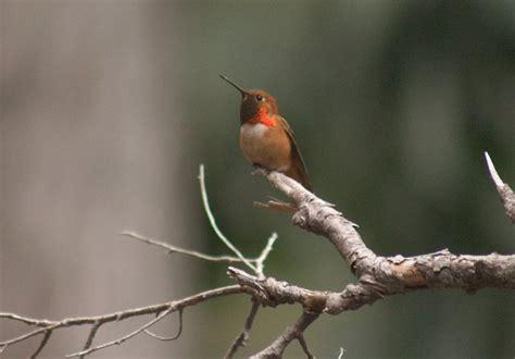 rufous hummingbird selasphorus rufus