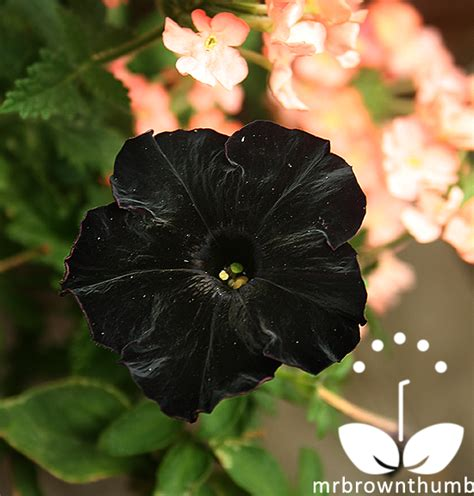 black flower garden petunia black cat the world s black petunia