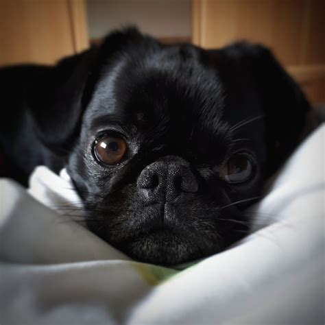 name of pug in in black serious black pug in bed about pug