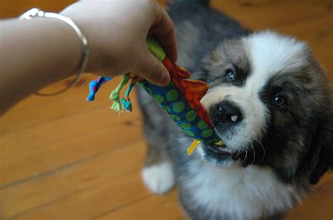 puppy biting paws paws for reaction puppy play biting how to teach a teething puppy not to bite