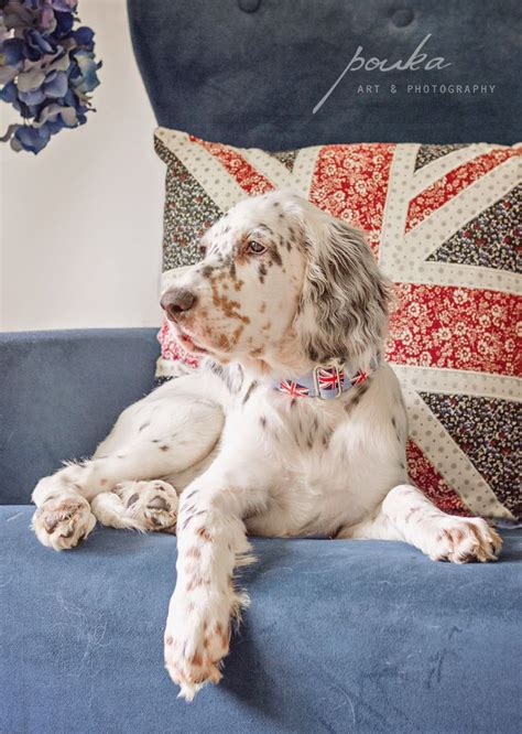 english setter dog collar 17 best images about dogs english setter engelse on