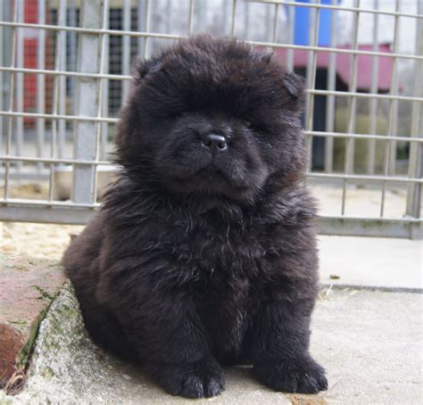 black chow puppy black chow chow puppies llandeilo carmarthenshire pets4homes