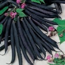 Benih Wortel Ungu bibit wortel kuroda jepang