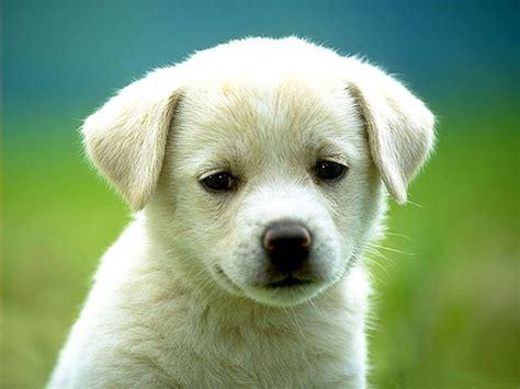 gambar anak anjing  lucu lucu  imut