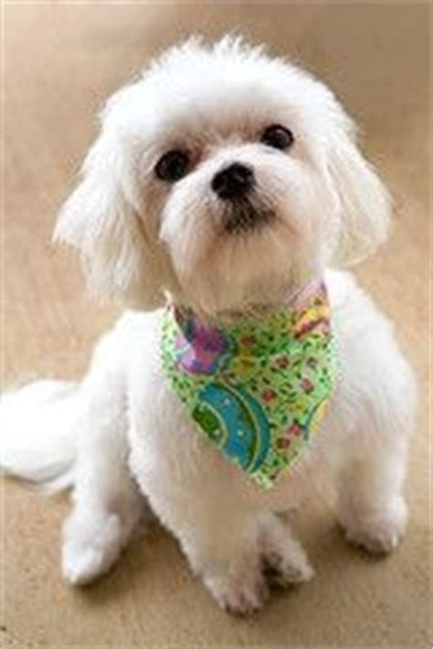boy maltese haircuts the o jays hair and puppys on pinterest