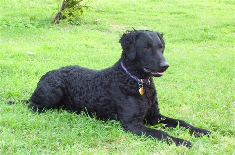 Curly-Coated Retriever   Dogzone NYC