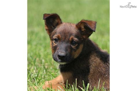free puppies in reno meet reno a german shepherd puppy for sale for 200 reno