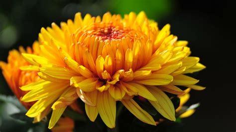 fiori crisantemi crisantemi chrysanthemum hyb chrysanthemum hyb