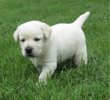 petsmart dogs for sale affenpinscher dogs sale classified by nathaliesaunders22 labrador retriever puppies