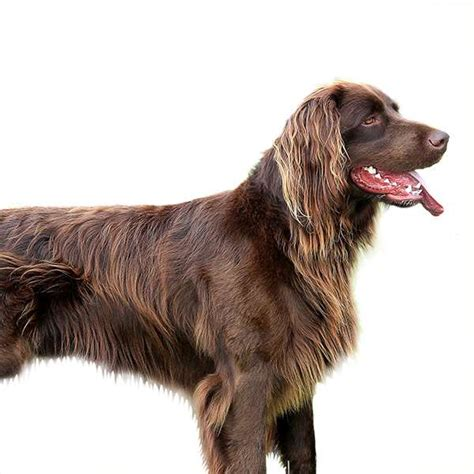 alimentazione bracco tedesco da ferma tedesco a pelo lungo scheda razza su cani it