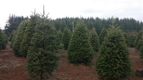 start christmas tree farm start the holidays at a grays harbor tree farm graysharbortalk