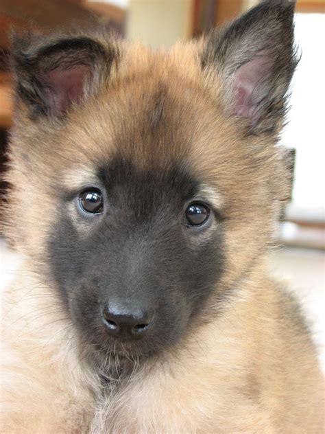 tervuren puppy belgian tervuren puppies breed information photos