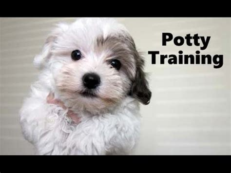 how to potty a havanese puppy havanese funnydog tv