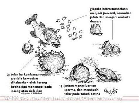 Mutiara Kerang Kima belajar terus biologi molusca