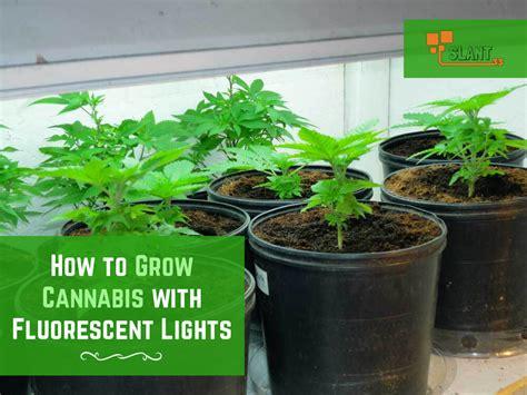 grow marijuana  fluorescent lights slant