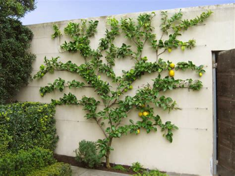 espalier fig tree maybe a better choice for a fruit tree