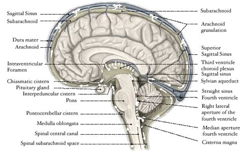 sagittal section of the skull sagittal section of the brain labeled images